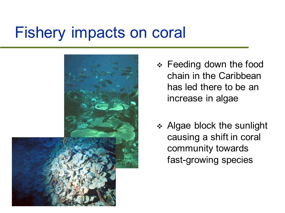 Fishery impacts on coral  Feeding down the food chain in the Caribbean has led there to be an increase in algae  Algae block the sunlight causing a shift in coral community towards fast-growing species