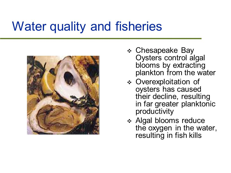 Water quality and fisheries  Chesapeake Bay Oysters control algal blooms by extracting plankton from the water  Overexploitation of oysters has caused their decline, resulting in far greater planktonic productivity  Algal blooms reduce the oxygen in the water, resulting in fish kills