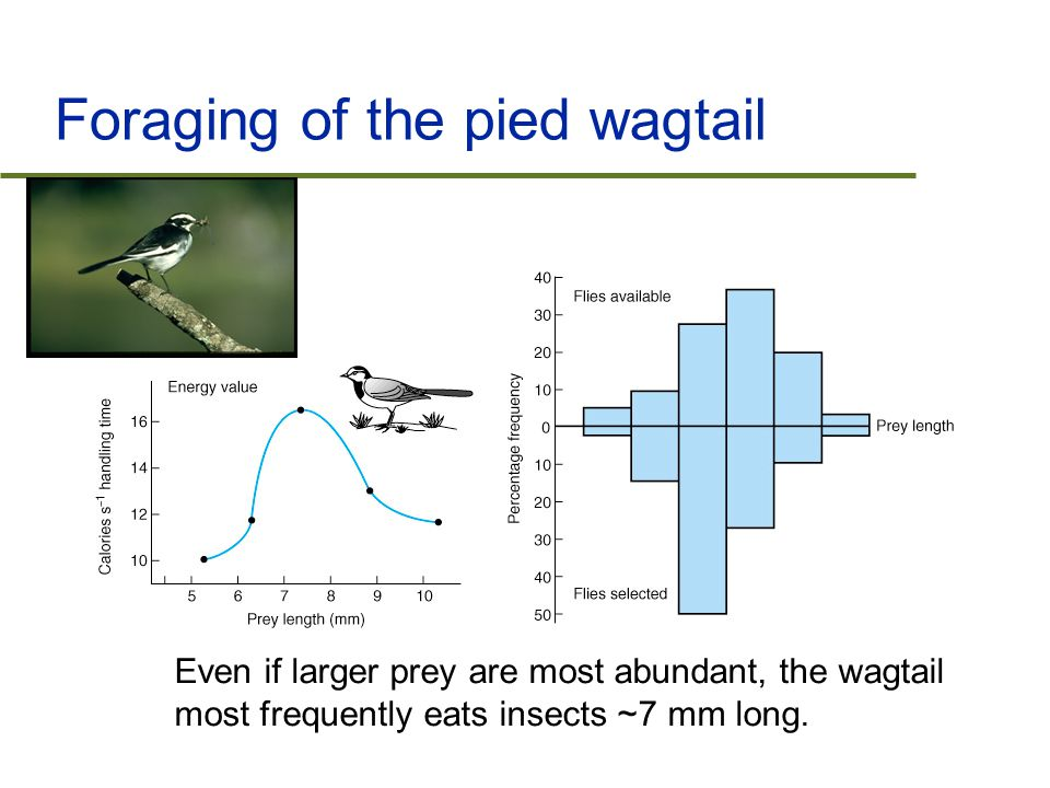 Outline  Optimal foraging models  The effect of prey and predator density  Human foraging and fisheries management