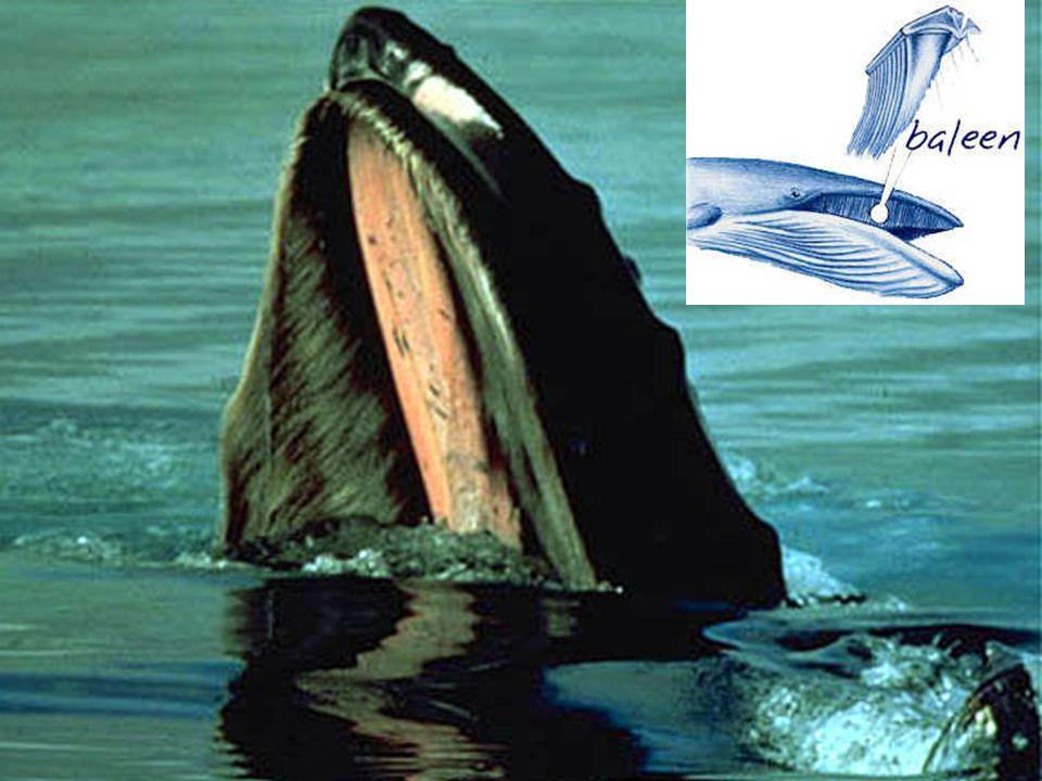Includes: manta rays, basking shark, whale shark, megamouth, paddlefish, gizzard shad, menhaden, and bighead carp.