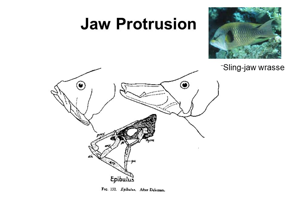 Jaw Protrusion Sling-jaw wrasse