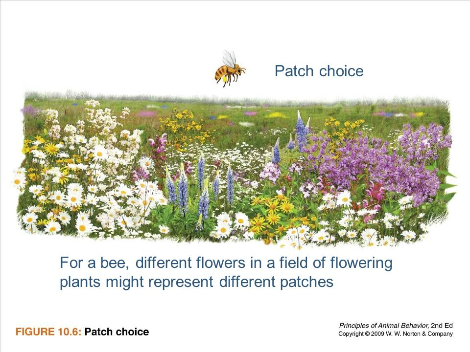 Ayo 2010 Ethology17 Patch choice For a bee, different flowers in a field of flowering plants might represent different patches