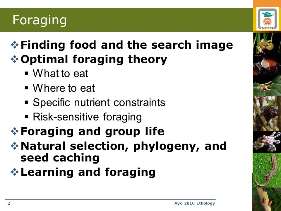 Ayo 2010 Ethology2 Foraging  Finding food and the search image  Optimal foraging theory  What to eat  Where to eat  Specific nutrient constraints  Risk-sensitive foraging  Foraging and group life  Natural selection, phylogeny, and seed caching  Learning and foraging