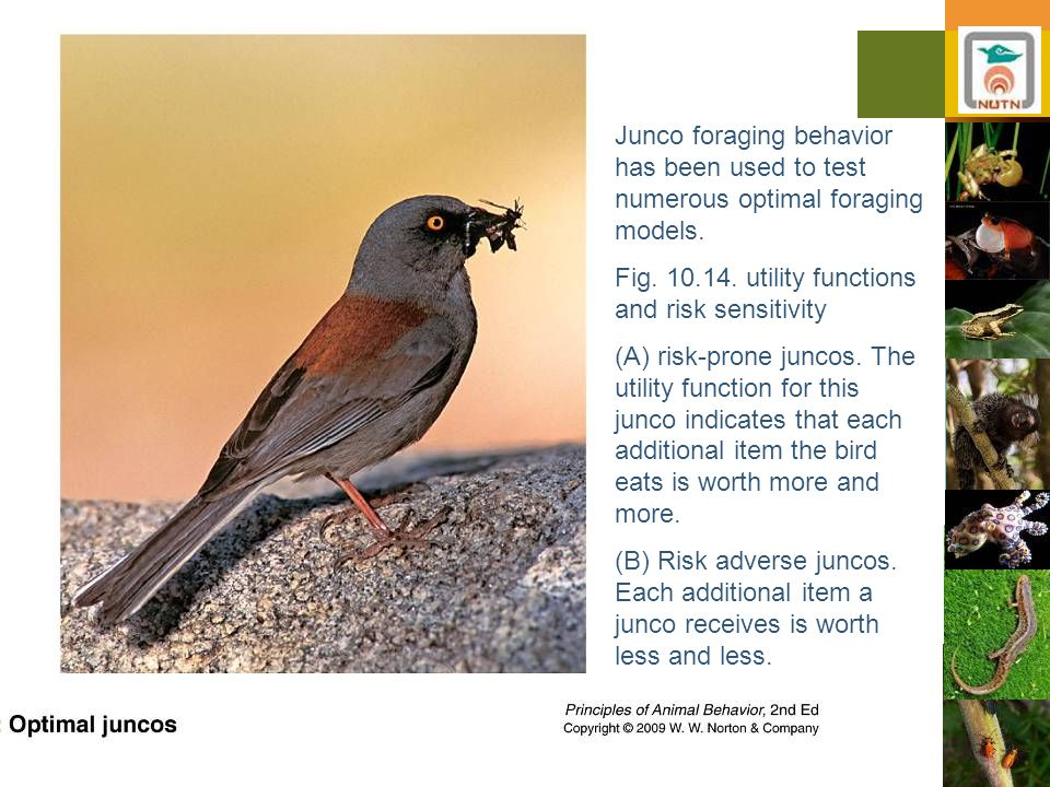 Ayo 2010 Ethology31 Junco foraging behavior has been used to test numerous optimal foraging models.