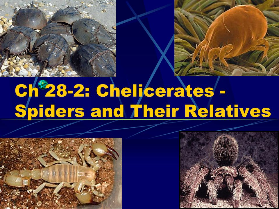 Chelicerates Two-part body system Mouthparts called chelicerae Lack sensory feelers on head