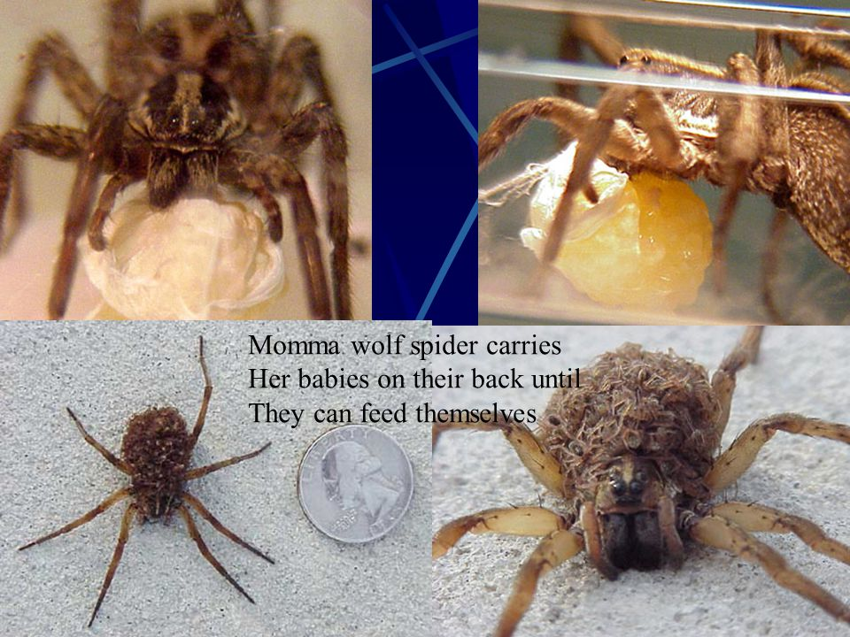 Momma wolf spider carries Her babies on their back until They can feed themselves