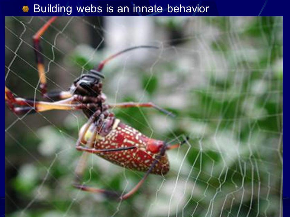 Building webs is an innate behavior