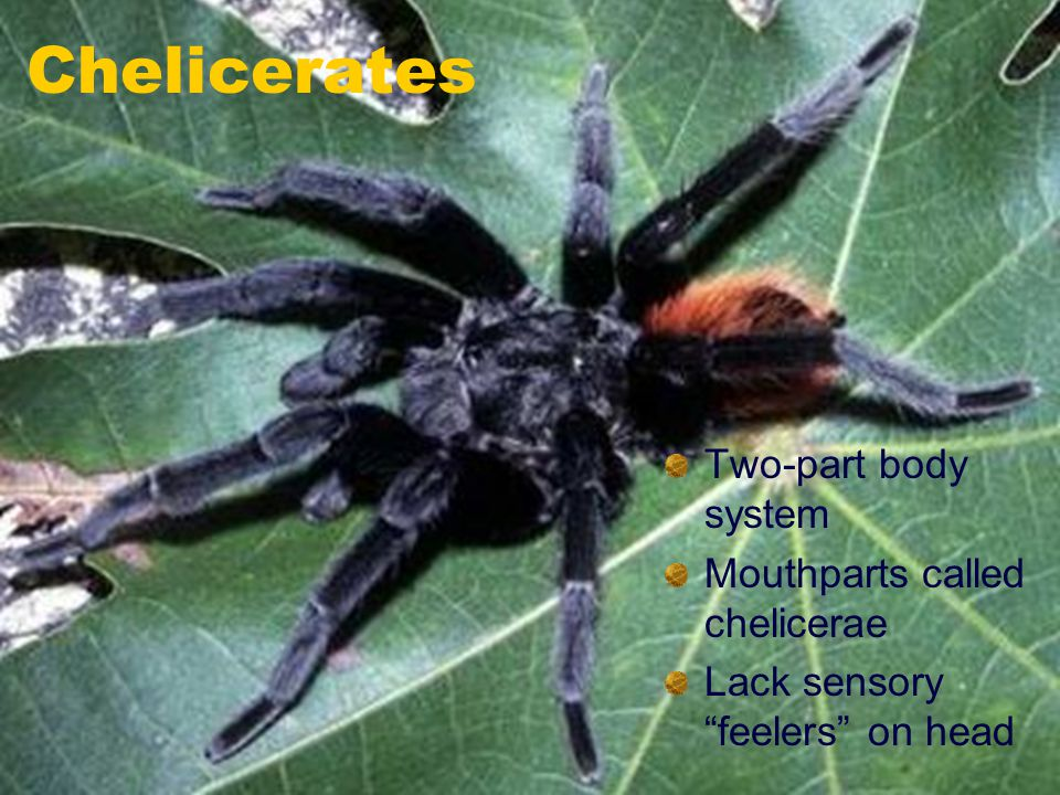 """Chelicerates Two-part body system Mouthparts called chelicerae Lack sensory """"feelers"""" on head"""