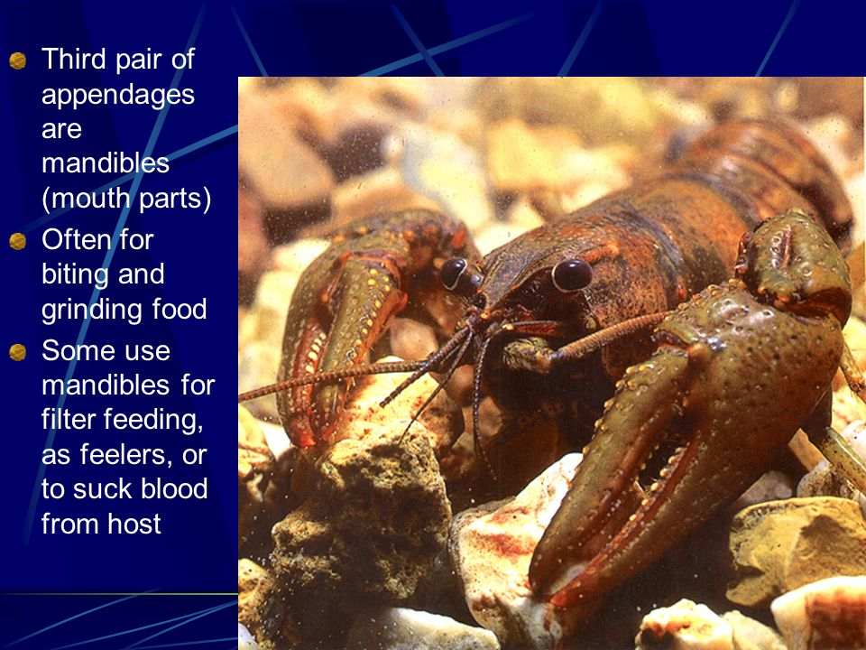 Third pair of appendages are mandibles (mouth parts) Often for biting and grinding food Some use mandibles for filter feeding, as feelers, or to suck