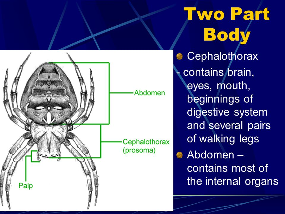 Two Part Body Cephalothorax - contains brain, eyes, mouth, beginnings of digestive system and several pairs of walking legs Abdomen – contains most of