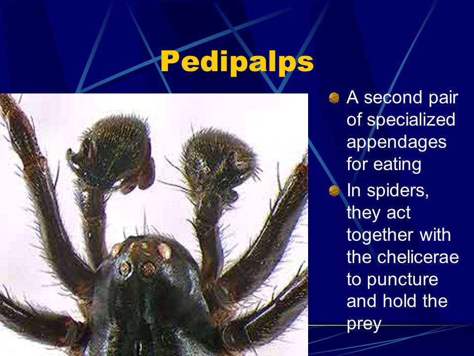 Third pair of appendages are mandibles (mouth parts) Often for biting and grinding food Some use mandibles for filter feeding, as feelers, or to suck blood from host