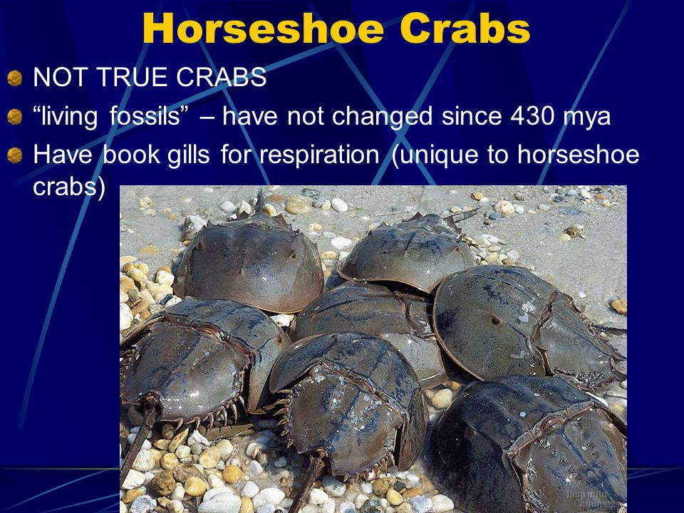 """Horseshoe Crabs NOT TRUE CRABS """"living fossils"""" – have not changed since 430 mya Have book gills for respiration (unique to horseshoe crabs)"""