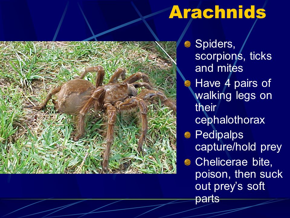 Some thorax appendages are used as legs Other are used for internal fertilization, carrying eggs, capturing prey, etc