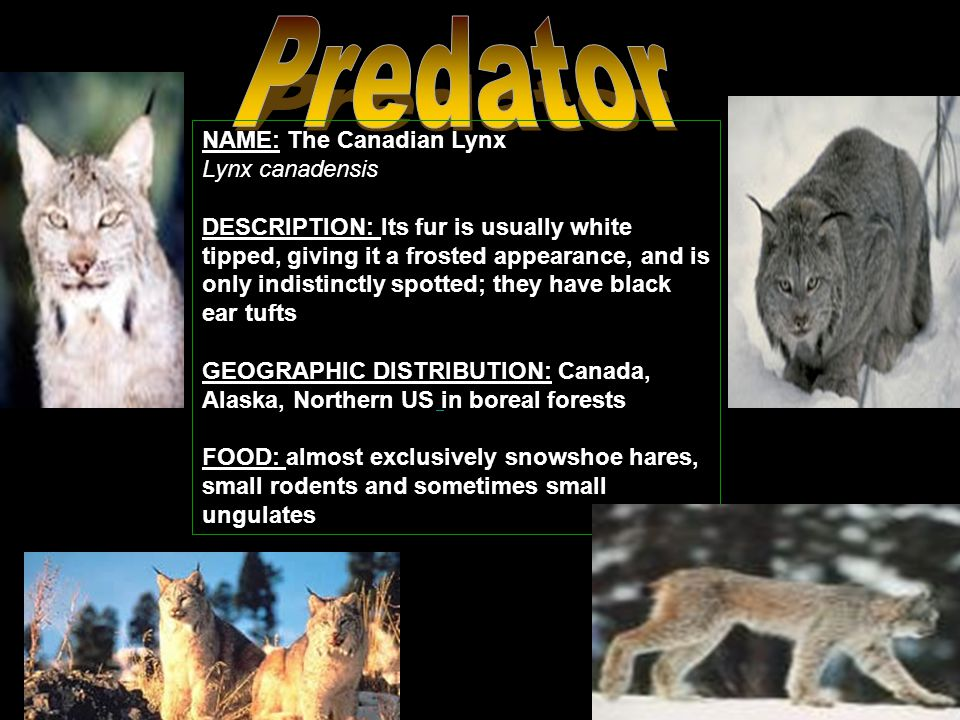 NAME: The Canadian Lynx Lynx canadensis DESCRIPTION: Its fur is usually white tipped, giving it a frosted appearance, and is only indistinctly spotted