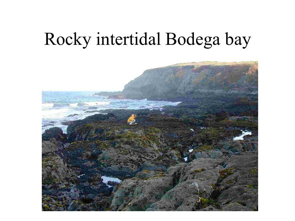 Rocky intertidal Bodega bay