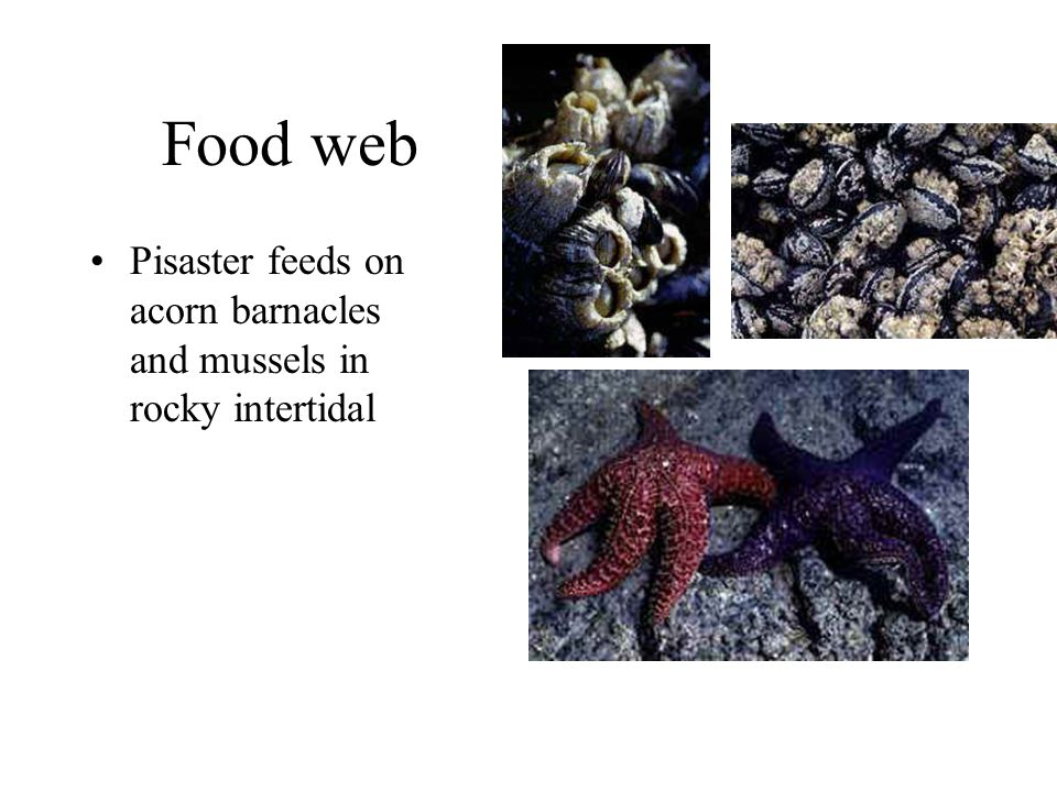 Food web Pisaster feeds on acorn barnacles and mussels in rocky intertidal