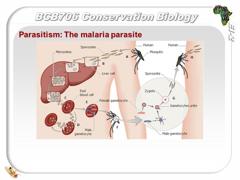 Parasitism: The malaria parasite