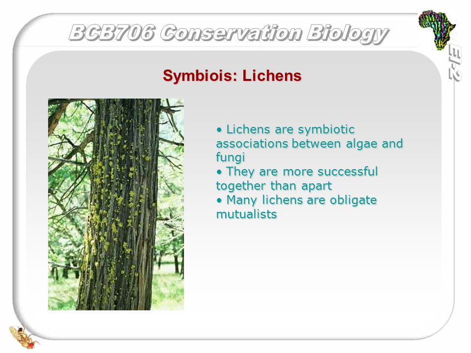 Symbiois: Lichens Lichens are symbiotic associations between algae and fungi Lichens are symbiotic associations between algae and fungi They are more successful together than apart They are more successful together than apart Many lichens are obligate mutualists Many lichens are obligate mutualists