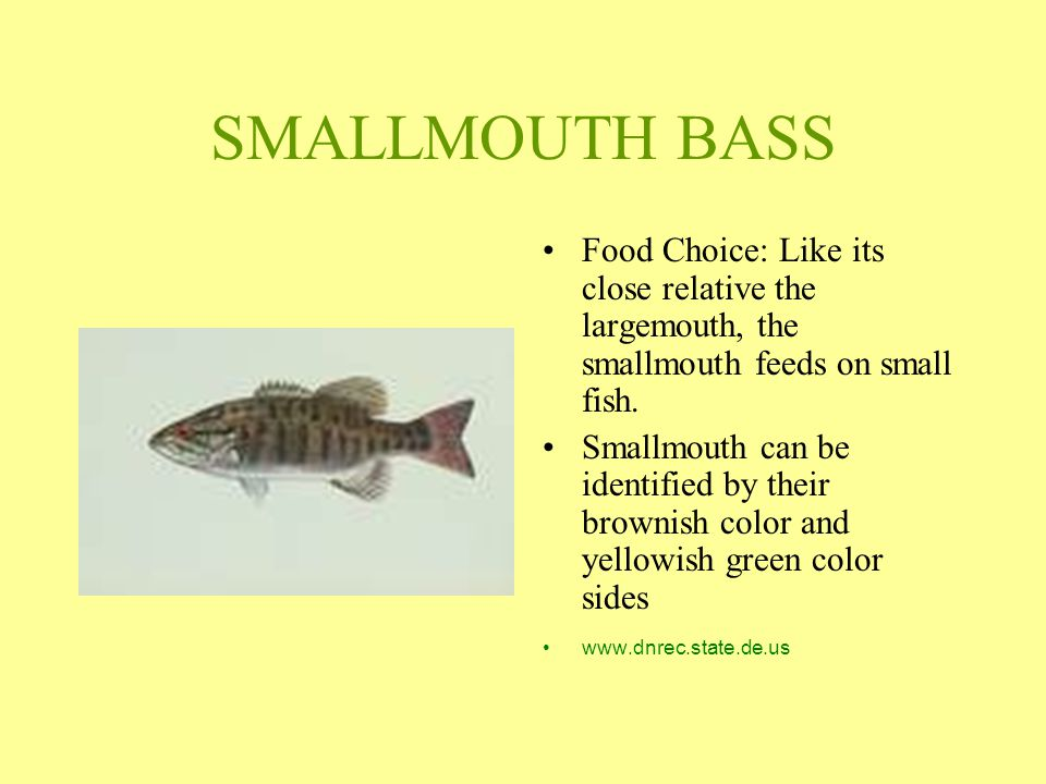 SMALLMOUTH BASS Food Choice: Like its close relative the largemouth, the smallmouth feeds on small fish. Smallmouth can be identified by their brownis