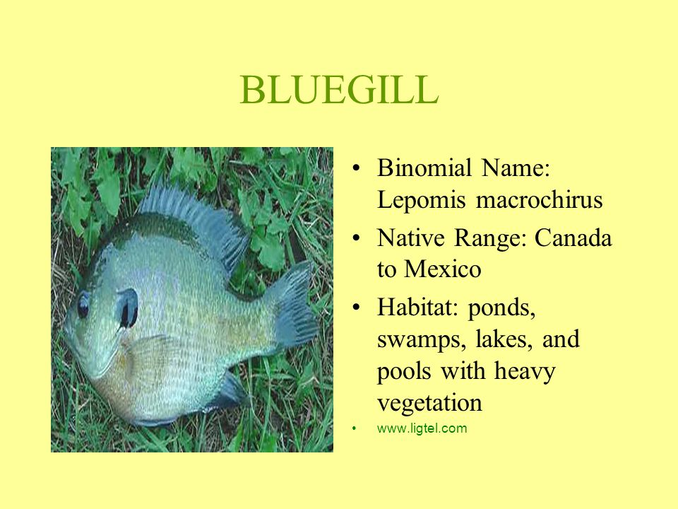 BLUEGILL Binomial Name: Lepomis macrochirus Native Range: Canada to Mexico Habitat: ponds, swamps, lakes, and pools with heavy vegetation www.ligtel.c
