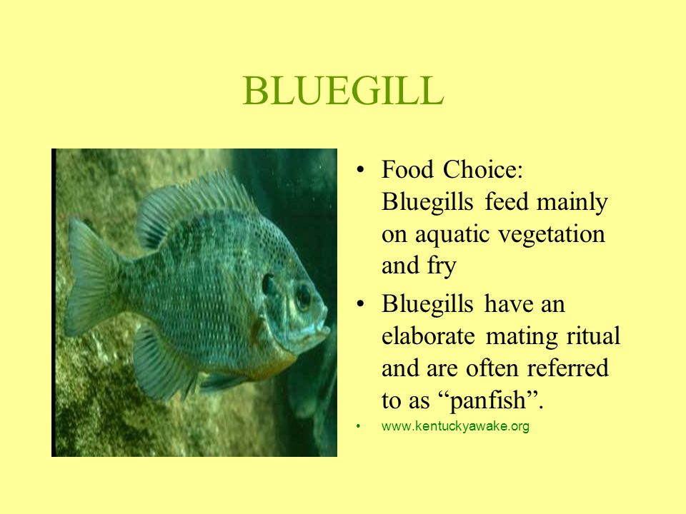 "BLUEGILL Food Choice: Bluegills feed mainly on aquatic vegetation and fry Bluegills have an elaborate mating ritual and are often referred to as ""panf"
