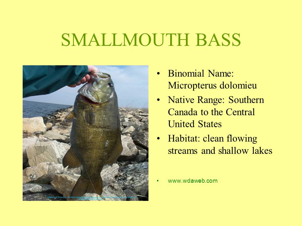 SMALLMOUTH BASS Binomial Name: Micropterus dolomieu Native Range: Southern Canada to the Central United States Habitat: clean flowing streams and shal