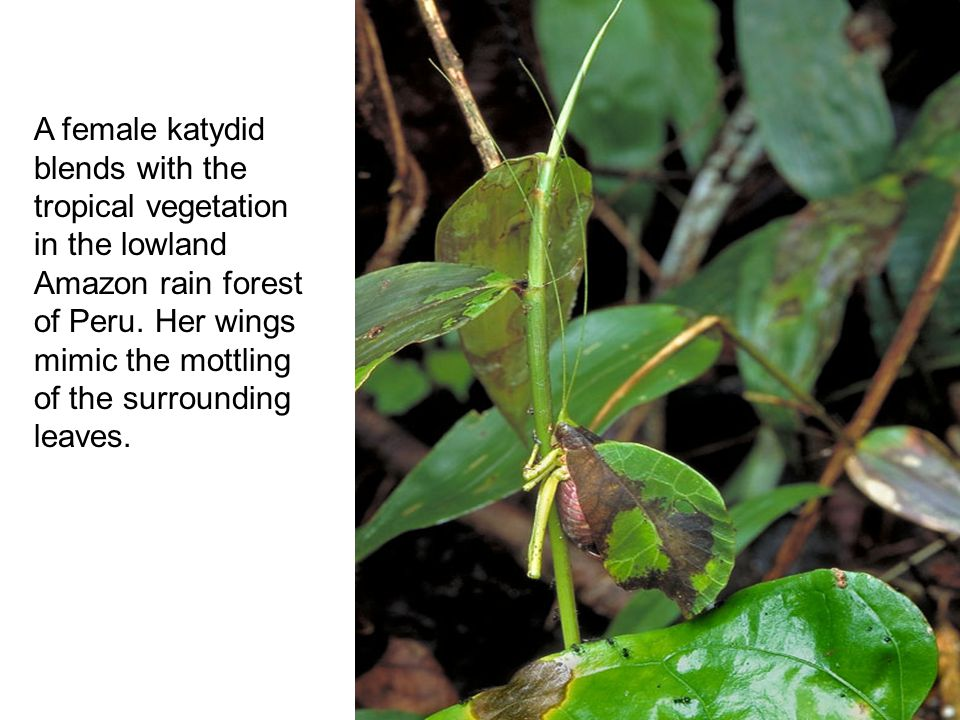 A female katydid blends with the tropical vegetation in the lowland Amazon rain forest of Peru.