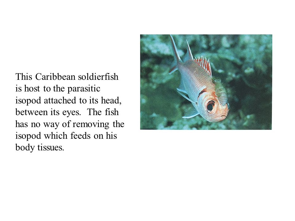 This Caribbean soldierfish is host to the parasitic isopod attached to its head, between its eyes.