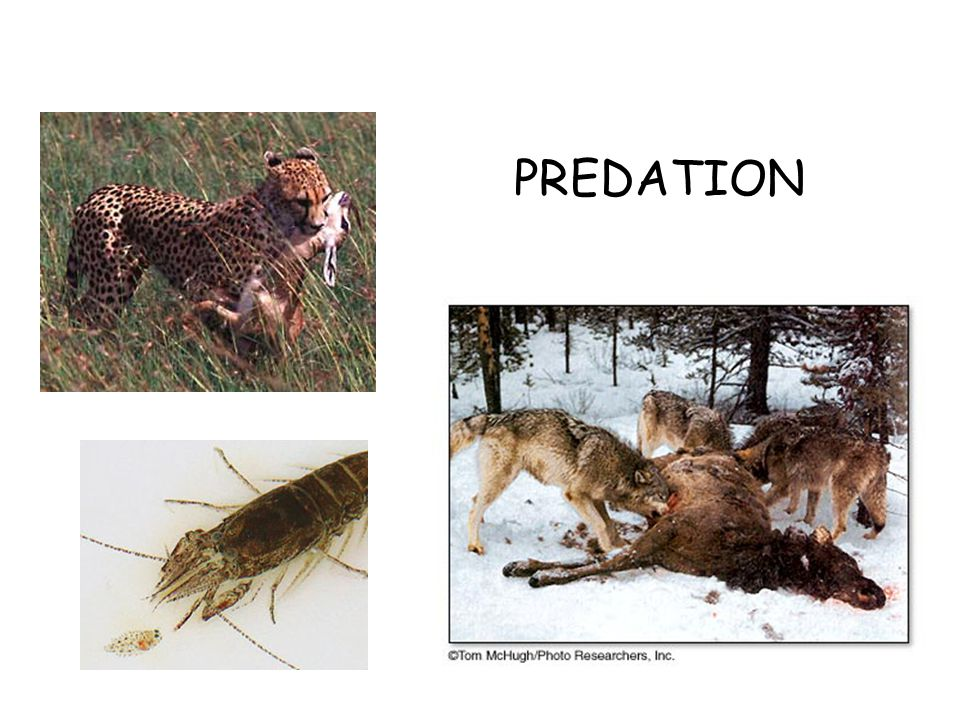 Early observations indicated that predator- prey relationships were cyclical.