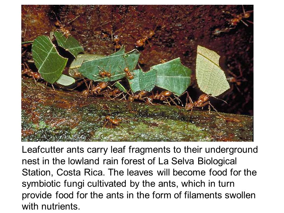 Leafcutter ants carry leaf fragments to their underground nest in the lowland rain forest of La Selva Biological Station, Costa Rica.