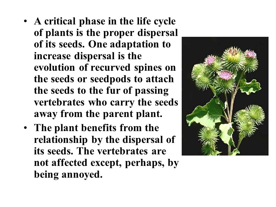 A critical phase in the life cycle of plants is the proper dispersal of its seeds.