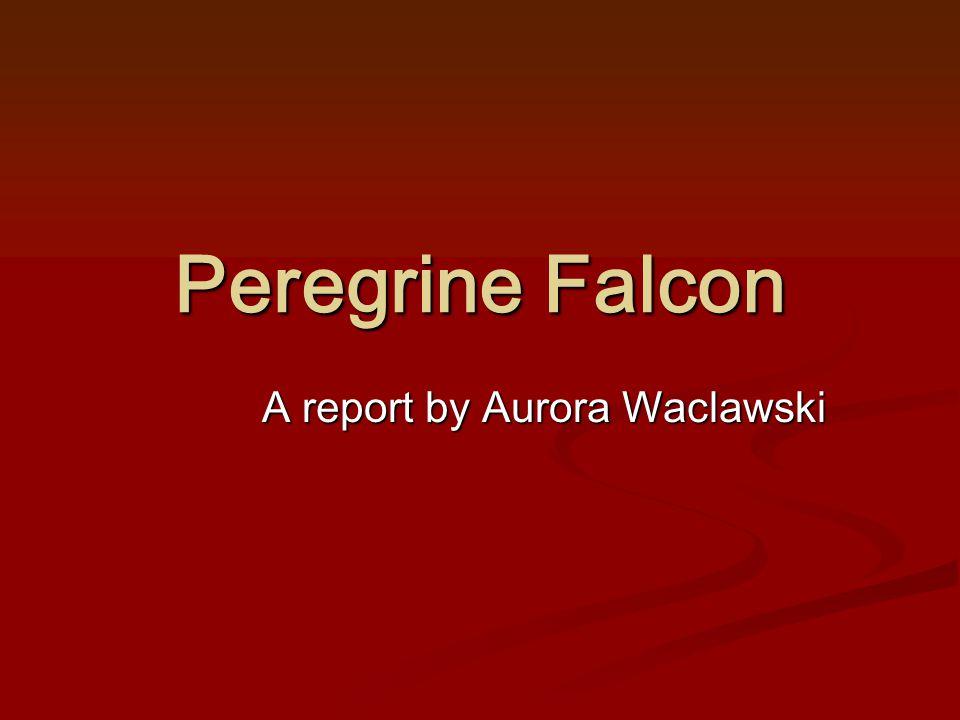 Peregrine Falcon A report by Aurora Waclawski