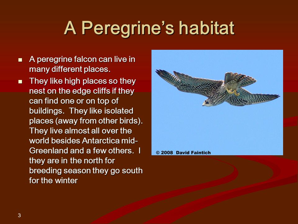 3 A Peregrine's habitat A peregrine falcon can live in many different places.