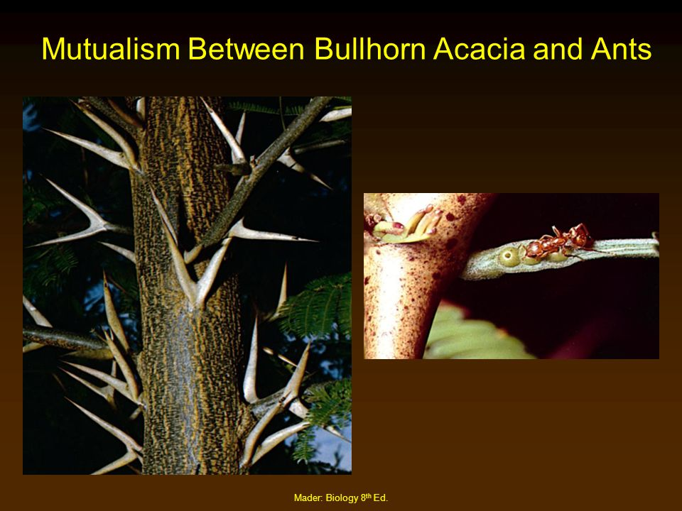Mader: Biology 8 th Ed. Mutualism Between Bullhorn Acacia and Ants