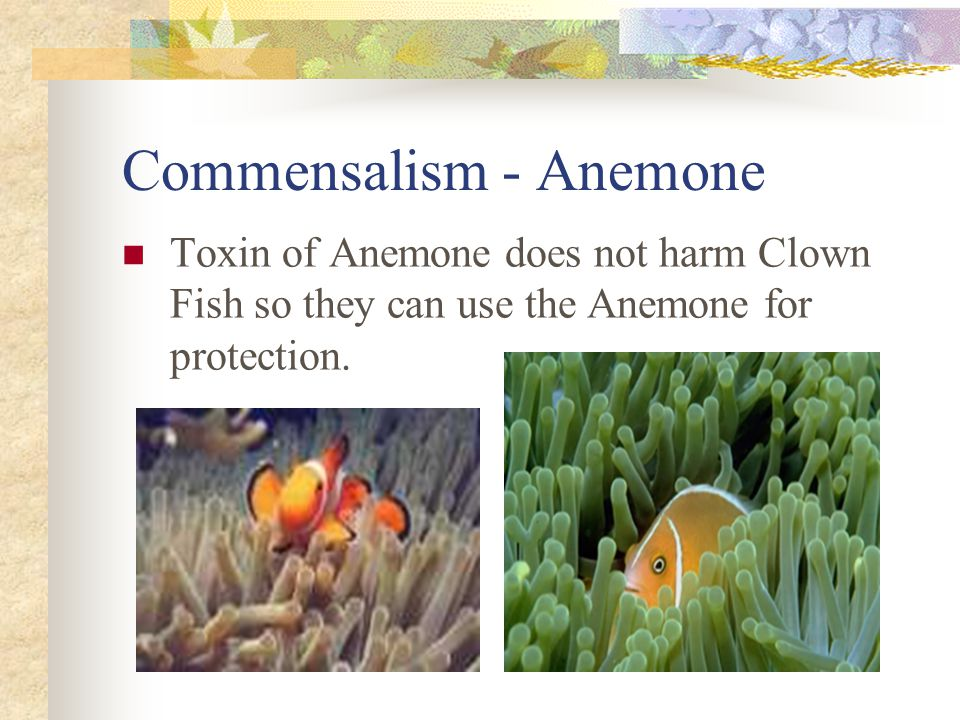Commensalism - Anemone Toxin of Anemone does not harm Clown Fish so they can use the Anemone for protection.