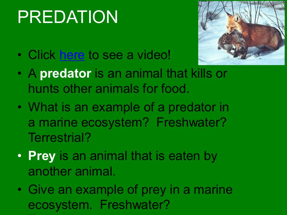 PREDATION Click here to see a video!here A predator is an animal that kills or hunts other animals for food. What is an example of a predator in a mar