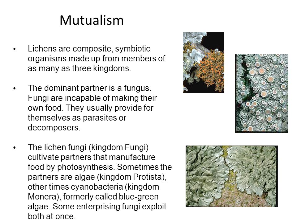 Mutualism Lichens are composite, symbiotic organisms made up from members of as many as three kingdoms.