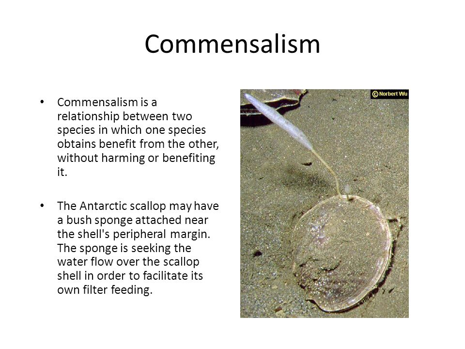 Commensalism Commensalism is a relationship between two species in which one species obtains benefit from the other, without harming or benefiting it.