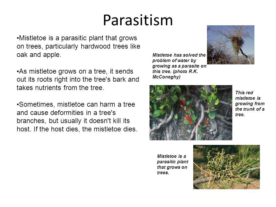 Parasitism Mistletoe has solved the problem of water by growing as a parasite on this tree.