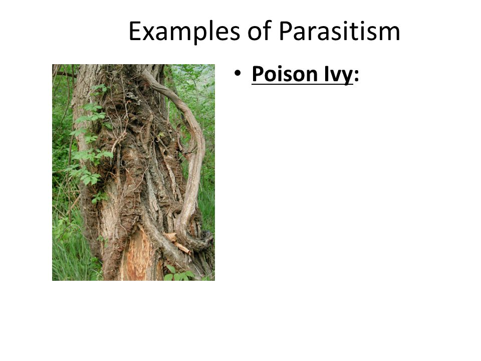Examples of Parasitism Poison Ivy: