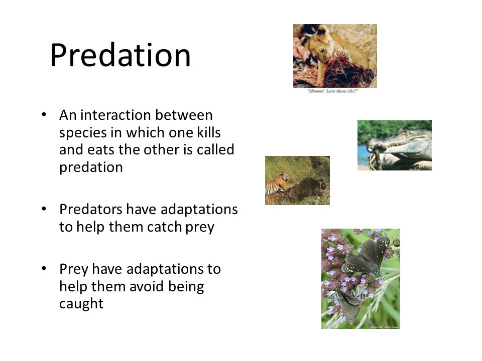 Predation An interaction between species in which one kills and eats the other is called predation Predators have adaptations to help them catch prey Prey have adaptations to help them avoid being caught