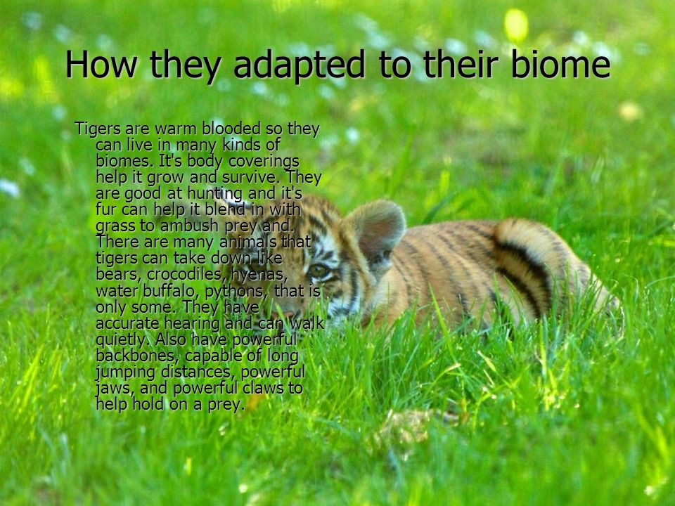 How they adapted to their biome Tigers are warm blooded so they can live in many kinds of biomes. It's body coverings help it grow and survive. They a