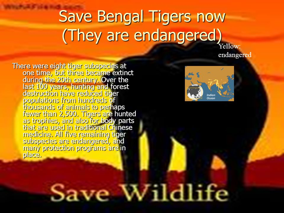 Save Bengal Tigers now (They are endangered) There were eight tiger subspecies at one time, but three became extinct during the 20th century. Over the