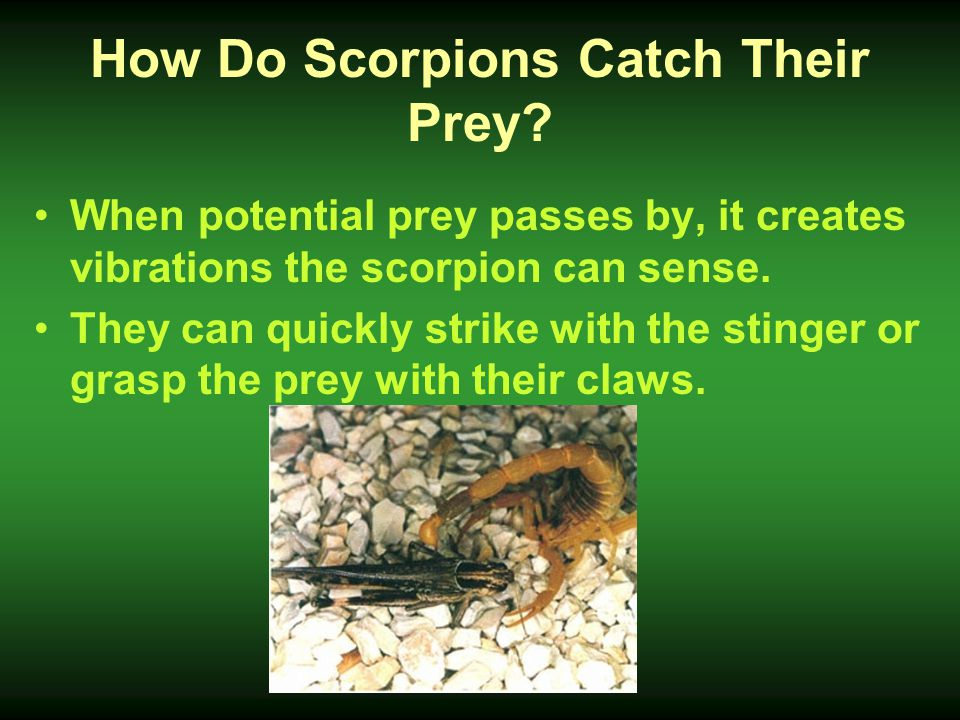 How Do Scorpions Catch Their Prey? When potential prey passes by, it creates vibrations the scorpion can sense. They can quickly strike with the sting