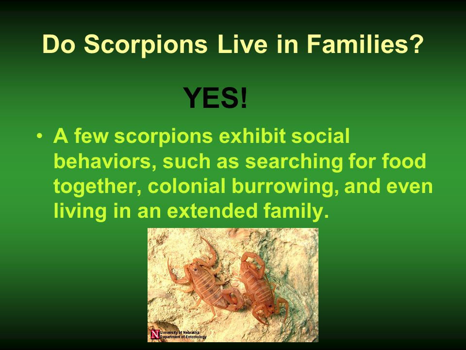 Do Scorpions Live in Families? A few scorpions exhibit social behaviors, such as searching for food together, colonial burrowing, and even living in a