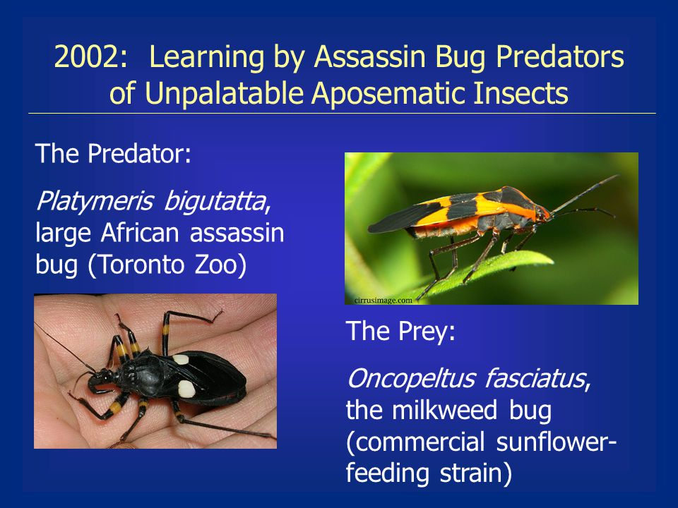 2002: Learning by Assassin Bug Predators of Unpalatable Aposematic Insects The Predator: Platymeris bigutatta, large African assassin bug (Toronto Zoo) The Prey: Oncopeltus fasciatus, the milkweed bug (commercial sunflower- feeding strain)