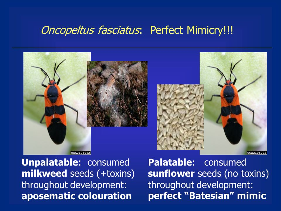 Oncopeltus fasciatus: Perfect Mimicry!!.