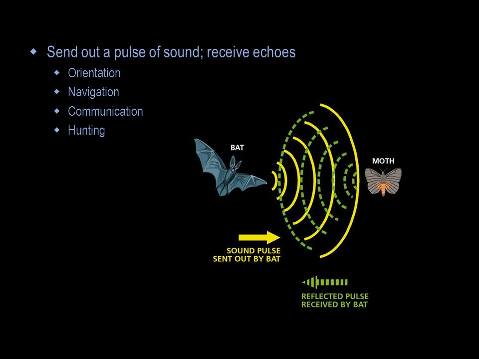  Send out a pulse of sound; receive echoes  Orientation  Navigation  Communication  Hunting