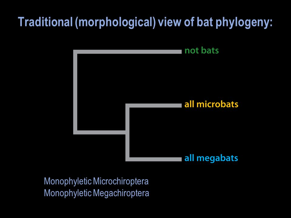 Traditional (morphological) view of bat phylogeny: Monophyletic Microchiroptera Monophyletic Megachiroptera