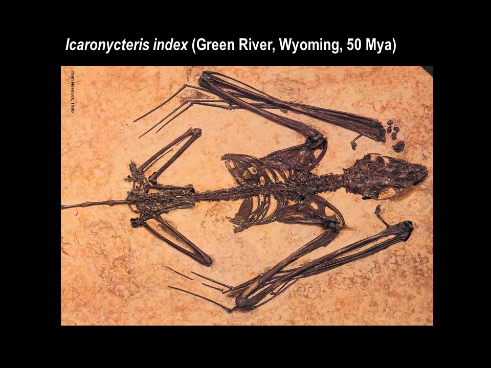Icaronycteris index (Green River, Wyoming, 50 Mya)